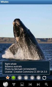 鲸鱼:野生动物
