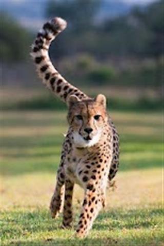 猎豹壁纸下载|猎豹壁纸手机版_最新猎豹壁纸安卓版下载