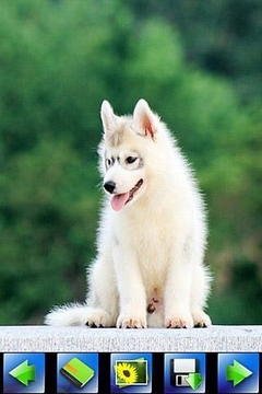 Husky Dog wallpaper