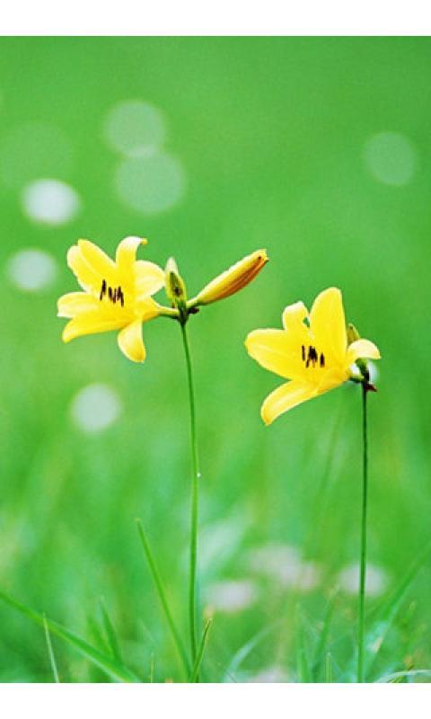 野百合的春天壁纸下载_野百合的春天壁纸手机版_最新