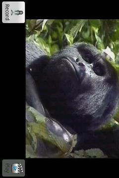 Talking Chimpanzee