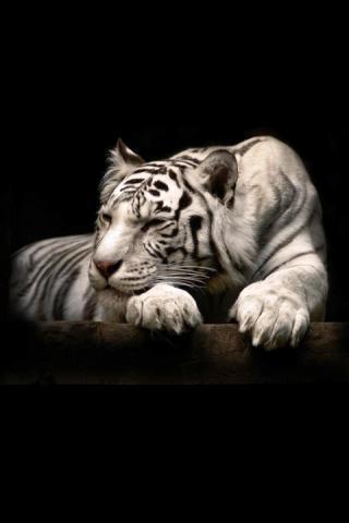 狮子和老虎壁纸下载|狮子和老虎壁纸手机版_最新狮子