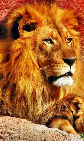 壁纸 动物 狮子 桌面 288_480 竖版 竖屏 手机
