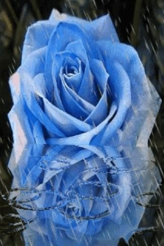 Blue Rose Under Rain Live Wall