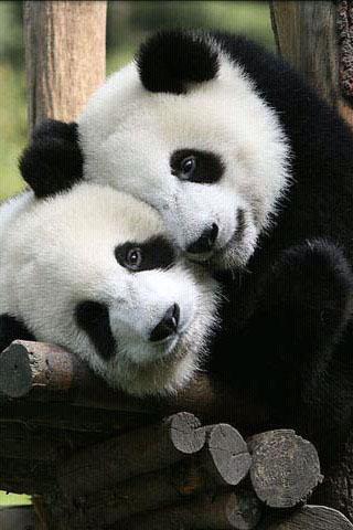 """*设置为""""可爱的熊猫""""动态壁纸."""