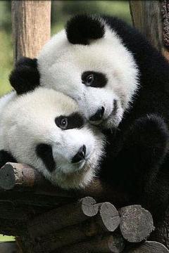 可爱的熊猫摄影