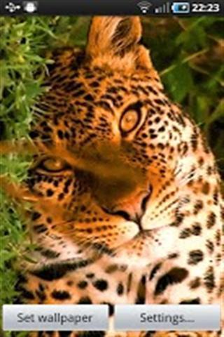 美丽的老虎动态壁纸下载
