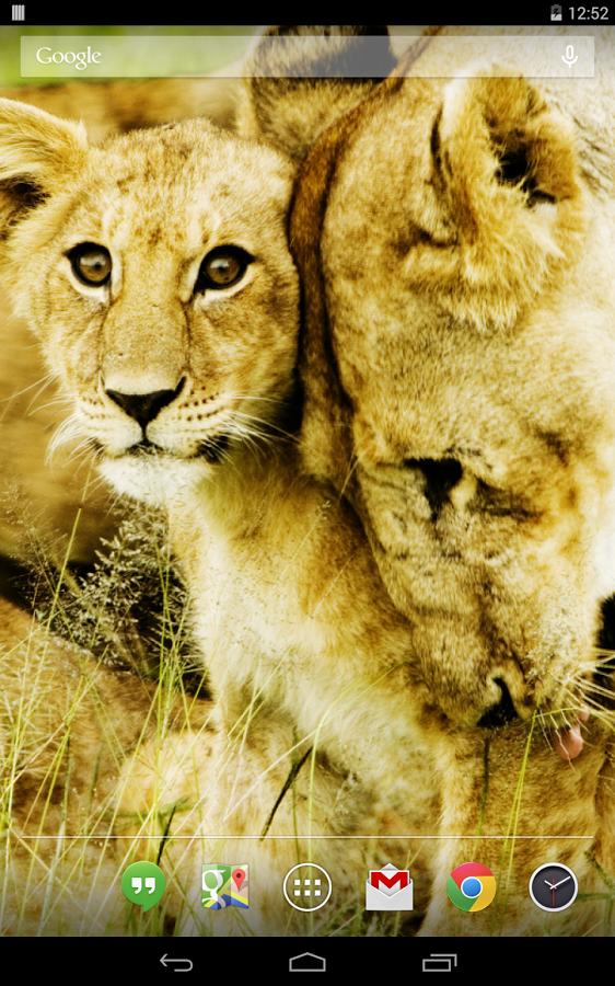 在许多非洲的大型猫科动物被猎杀的牧民或政府的问题,动物控制人员.