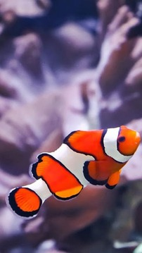 Clownfish Wallpapers