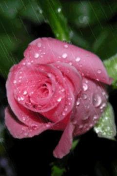 粉红色的玫瑰