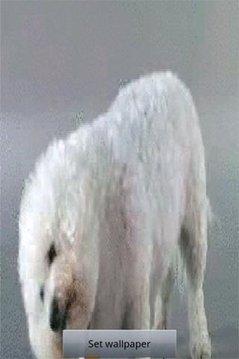 小狗舔屏幕 - 凯西LWP