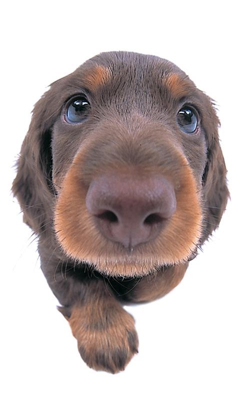 超可爱大头狗动态壁纸